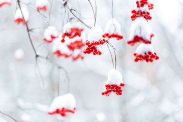 Bright red berries of viburnum under the snow hats.