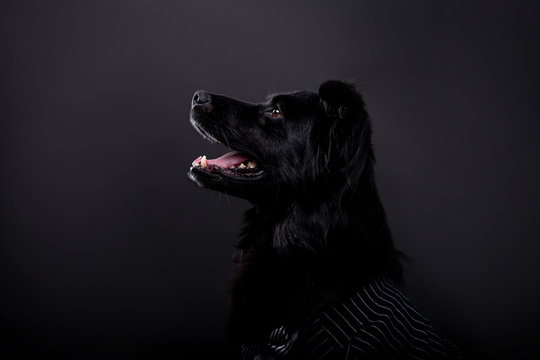 Beautiful black dog on a black background