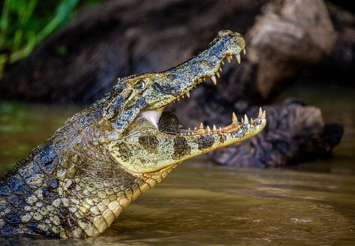 Cayman holds his head above the water and eats fish. Close-up. Brazil. Pantanal National Park. South America.