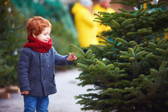 happy curious little boy touching the needles on spruce at the christmas tree market for winter holidays