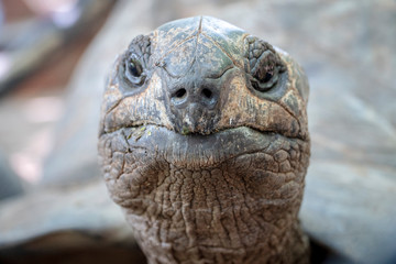 Keuken foto achterwand Schildpad close-up of 100 years old tortoise