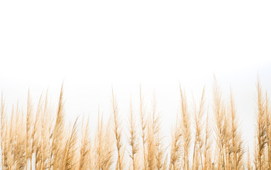 Fotobehang Gras High golden wheat grain grass dry flower plant landscape scenic growth in meadow countryside with white isolated background for vintage design style