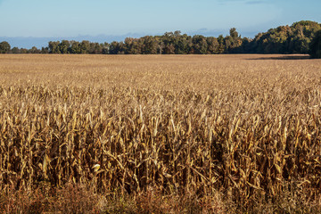 Field of golden corn ready to harvest in the sunshine with autumn trees and blue sky in the background