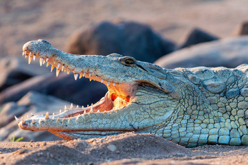 Nile Crocodile, up close, on land, sharp, clear, teeth and eyes, croc,
