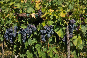 Red grape at  vineyard near back road at autumn, near Vinci in Tuscany, Italy