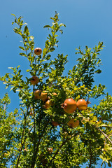 Tree with pomegranate fruit at sunny morning, in an orchard near Vinci, Tuscany, Italy