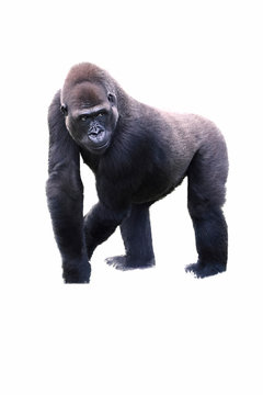 young male silverback gorilla walking on all fours.