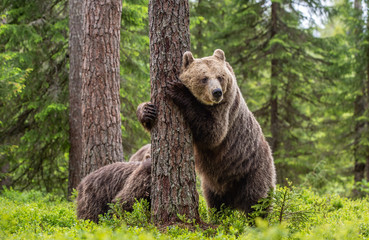 Brown bear standing on his hind legs. She-bear and cubs in the summer forest. Natural Habitat. Brown bear, scientific name: Ursus arctos. Summer season.