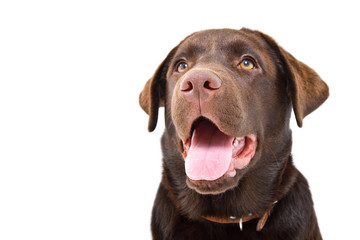 Portrait of a cute young Labrador dog, closeup, isolated on a white background