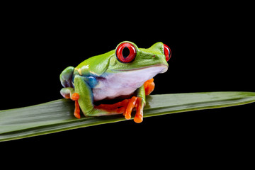 Foto auf AluDibond Frosch Red Eyed Tree Frog, Agalychnis Callidryas, on a Leaf with Black Background