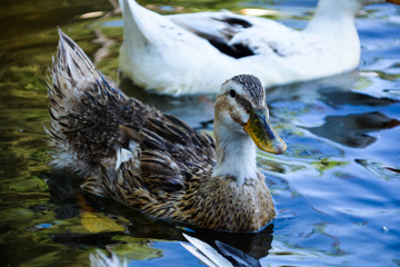 Pictures of wild ducks in the lake