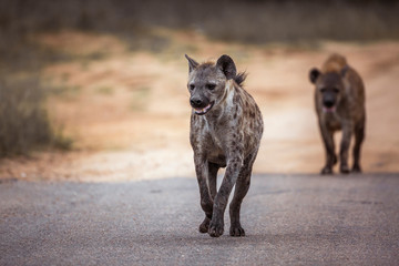 Photo sur Plexiglas Hyène Two Spotted hyaena running in front view in Kruger National park, South Africa ; Specie Crocuta crocuta family of Hyaenidae