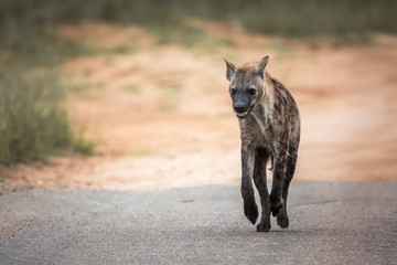 Poster Hyène Spotted hyaena running in front view in Kruger National park, South Africa ; Specie Crocuta crocuta family of Hyaenidae