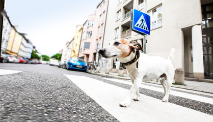 Keuken foto achterwand Crazy dog dog and owner with leash crossing street
