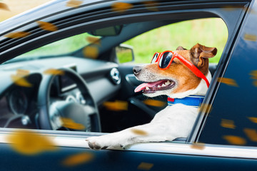 Self adhesive Wall Murals Crazy dog dog car steering wheel