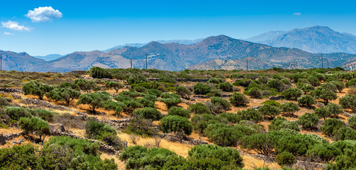 View of an olive plantation on the mountain of Crete