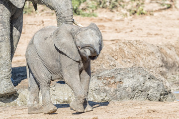 Small african elephant calf, Loxodonta africana, walking
