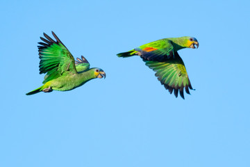 A pair of Orange-winged Amazon parrots flying on a bright sunny day.