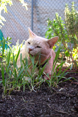 cat outside chewing on grass