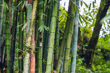 Green Bamboo found growing in the mountain forests around Sapa in Northern Vietnam along the Chinese border