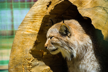 Wall Mural - Lynx sits in a hollow tree