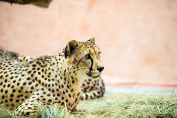 Wall Mural - beautiful cheetah