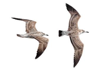 Foto op Aluminium Noordzee zwei fliegende Möwen, freigestellt