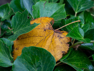 yellow leaf, sign of autumn, among lush green leaves