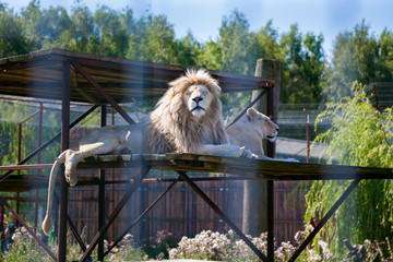 pair of lions behind the bars