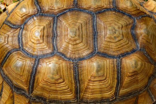 Close up Sulcata tortoise skin for animal skin