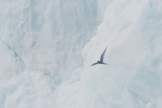 Arctic tern (Sterna paradisaea) flying in front of glacier in Svalbard.