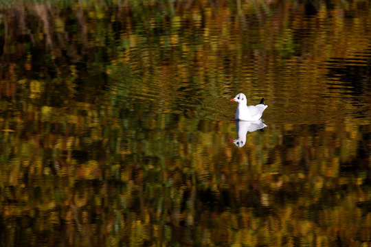 Seagull swims on the canal as coloured autumn leaves are reflected on the water, in Proville