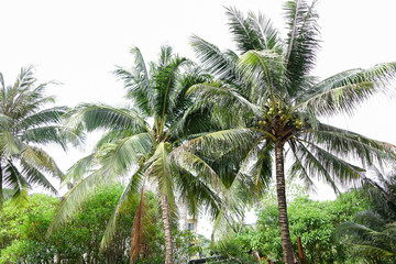 Fotomurales - Green palm trees with coconuts.