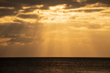 Seagull silhouette as it flies through the sunbeams at sunet on Fort Myers Beach, FL