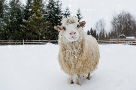 sheep on a farm in a snowy forest