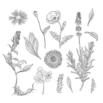 Hand drawn botanical illustrations with various plants and herbs. Drawn with textured, detailed outlines.