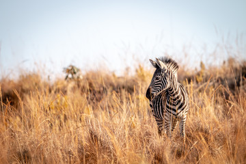 Poster de jardin Zebra Young Zebra standing in the high grass.