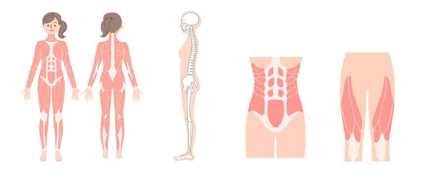 女性の筋肉と骨格