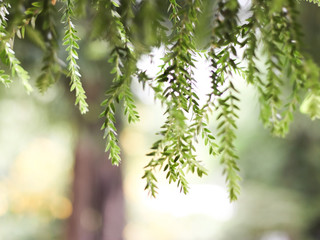 Blurred image of huperzia leaves hanging dowm