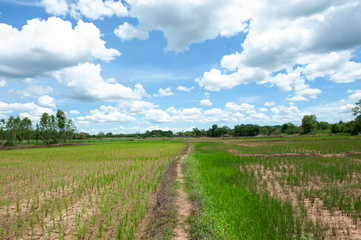 Rice field in Thailand, Prematurely dried out due to lack of rain. Rice seedlings growing on the barren fields and no water in drought rice field with cracked soil.