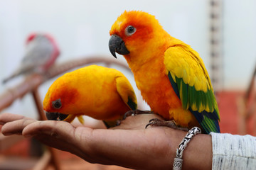Beautiful parrot eating grains on a human hand