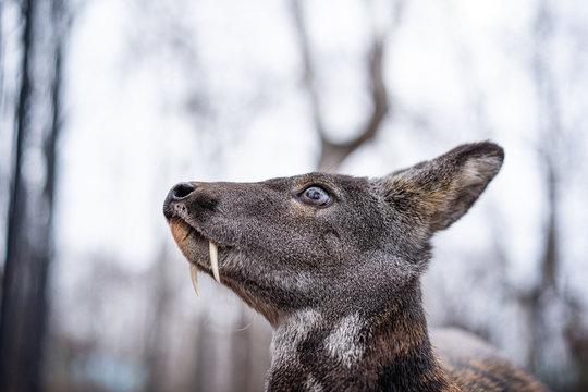 Siberian musk deer, a rare pair hoofed animal with fangs