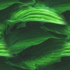Beautiful vegetable background from the leaves of Hosta after a rain. Wallpaper. Close up