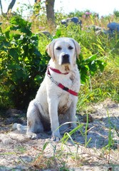 happy labrador observing the beach during hot summer day