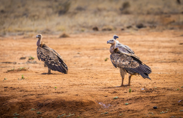 African vulture in Kenya