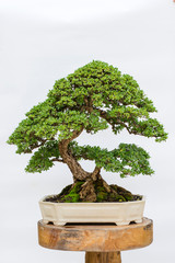 Foto op Plexiglas Bonsai bonsai tree isolated on white