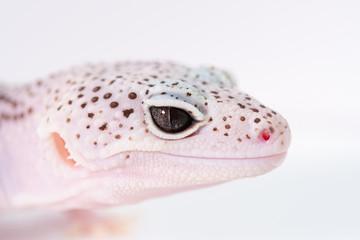 ヒョウモントカゲモドキ, レオパルドゲッコーの目, 爬虫類のペット