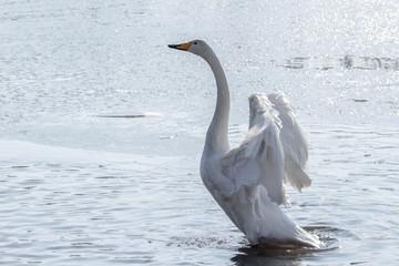 Foto op Plexiglas Zwaan 白鳥
