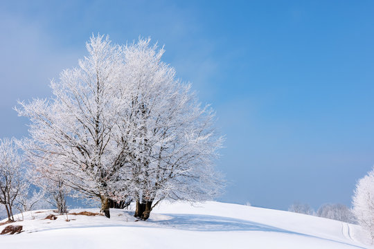 tees in hoarfrost on a snow covered meadow. fantastic winter scenery on a misty morning weather with blue sky. minimalism concept in fairy tale landscape
