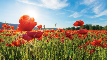 poppy field on a sunny afternoon. beautiful rural scenery with red flowers in mountains. bright blue sky with fluffy clouds. summer countryside outdoors happy days memories concept